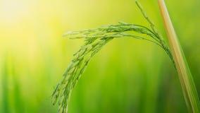 Grünes Ohr des Reises auf dem Reisgebiet, Ohr des Paddys Lizenzfreie Stockfotografie