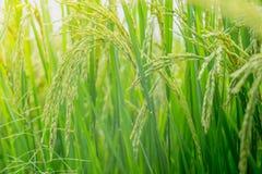Grünes Ohr des Reises auf dem Reisgebiet, Ohr des Paddys Stockfotografie