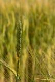 Grünes Ohr des Weizens Lizenzfreies Stockfoto