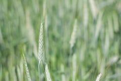 Grünes Ohr des Weizens am Sommer Stockbilder