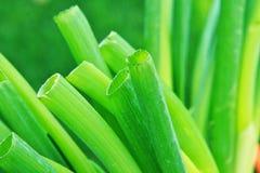 Grünes onions Lizenzfreies Stockfoto