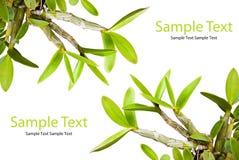 Grünes Orchideeblatt auf dem Weiß. Lizenzfreie Stockbilder