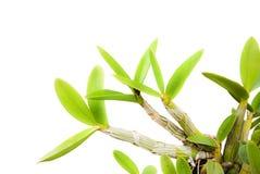 Grünes Orchideeblatt auf dem Weiß. Stockfoto