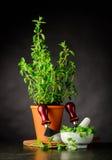 Grünes Oregano mit Herb Chopper stockbild