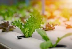 Grünes organisches Salatwasserkulturgemüse Stockfotografie