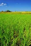 Grünes Paddyfeld lizenzfreie stockbilder