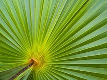 Grünes Palmblatt Lizenzfreie Stockfotografie