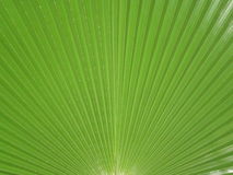 Grünes Palmblatt Stockbilder