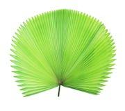 Grünes Palmblatt lokalisiert Stockbilder