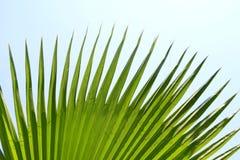 Grünes Palmblatt mit spitzen Rändern lizenzfreie stockfotografie