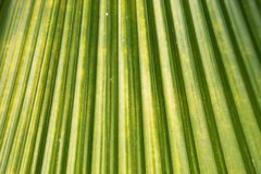 Grünes Palme-Blatt Stockfotografie