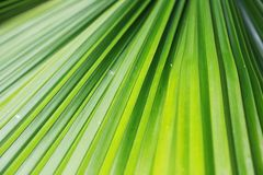 Grünes Palme-Blatt Stockfotos