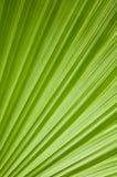 Grünes Palmeblatt Stockfoto