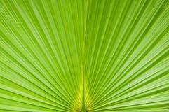 Grünes Palmeblatt Lizenzfreies Stockfoto