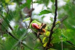 Grünes Papageienfell auf grünem Tamarindenbaum Stockbild