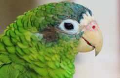 Grünes Papageienporträt Stockbild