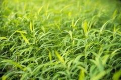 Grünes Para-Gras verlässt neuen Naturhintergrund Lizenzfreie Stockfotografie