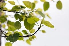 Grünes Peepal verlässt auf einem weißen Hintergrund stockbilder