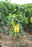 Grünes Pepperoni an den Feldern Lizenzfreie Stockfotografie