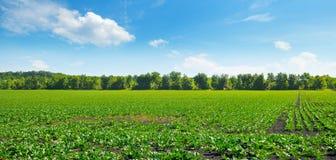 Grünes Rübenfeld und blauer Himmel Breites Foto Stockbilder