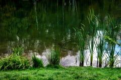 Grünes Reedgras im Wasser Lizenzfreies Stockfoto