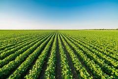 Grünes reifendes Sojabohnenfeld, landwirtschaftliche Landschaft stockfotos