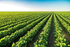 Grünes reifendes Sojabohnenfeld, landwirtschaftliche Landschaft stockbilder