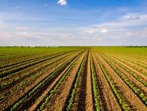 Grünes reifendes Sojabohnenfeld, landwirtschaftliche Landschaft stockfoto