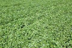 Grünes reifendes Sojabohnenfeld Reihen von den grünen Sojabohnen von der Luft Lizenzfreie Stockfotos