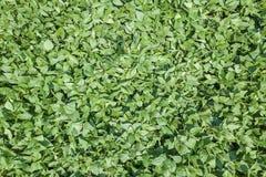 Grünes reifendes Sojabohnenfeld Reihen von den grünen Sojabohnen von der Luft Stockfoto