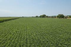 Grünes reifendes Sojabohnenfeld Reihen von den grünen Sojabohnen von der Luft Lizenzfreies Stockfoto