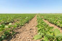 Grünes reifendes Sojabohnenfeld Reihen von grünen Sojabohnen Sojabohnenöl planta stockbild