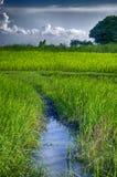 Grünes Reis-Feld im Sommer mit bewölktem Stockfotos