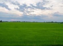 Grünes Reis-Feld mit dem Himmel war bewölkt Stockfotografie