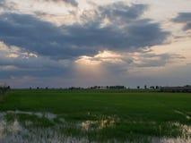 Grünes Reis-Feld mit dem Himmel war bewölkt und Sonnenuntergang Lizenzfreies Stockbild