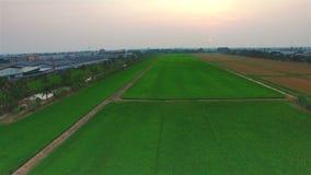 Grünes Reisbauernhoffeld mit Zeit der Sonne in der Dämmerung in Thailand; 4K 30fps, Luftneigung herauf Draufsicht stock video