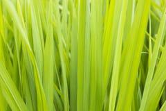 Grünes Reisfeld stockfotografie