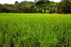 Grünes Reisfeld Lizenzfreies Stockbild