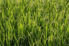 Grünes Reisfeld Lizenzfreie Stockfotografie