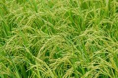 Grünes Reisfeld, Ansicht eines Reisfelds auf dem Gebiet Stockbild