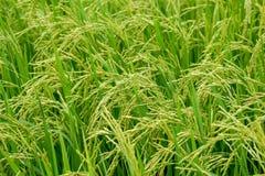 Grünes Reisfeld, Ansicht eines Reisfelds auf dem Gebiet Stockfoto