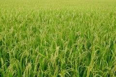 Grünes Reisfeld, Ansicht eines Reisfelds auf dem Gebiet Lizenzfreies Stockfoto