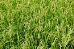 Grünes Reisfeld, Ansicht eines Reisfelds auf dem Gebiet Lizenzfreie Stockfotografie