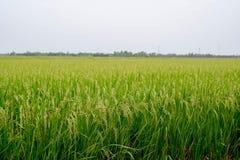 Grünes Reisfeld, Ansicht eines Reisfelds auf dem Gebiet Lizenzfreie Stockbilder