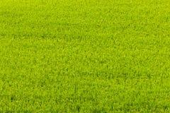 Grünes Reisfeld in Aso, Japan Lizenzfreie Stockfotos