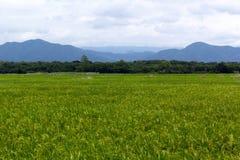 Grünes Reisfeld auf bewölktem und Gebirgshintergrund Lizenzfreie Stockbilder