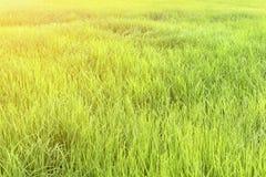 Grünes Reisfeld bei Sonnenaufgang Stockfotografie