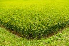Grünes Reisfeld bereit zu havest in Aso, Japan Stockfotografie