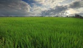 Grünes Reisfeld im Natur- und Himmelhintergrund Stockfotografie