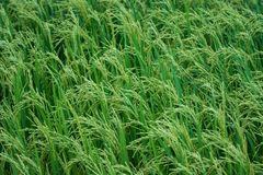 Grünes Reisfeld Kanchanaburi Thailand lizenzfreies stockbild